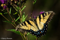 Swallowtail (Wildphotography - Barry Rowan) Tags: animal butterfly charlotte easterntigerswallowtail insect lattaplantationnaturepreserve mecklenburgcounty nature northcarolina summer wildlife