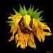 Dried+sunflower+-+Tournesol+s%C3%A9ch%C3%A9