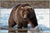 Coastal Brown Bear looking for some dinner (johnhig89) Tags: alaska 2009 wildlife book bears nikond300 katmainationalpark nikon years katmai usa