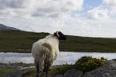 (IlPoliedrico) Tags: ireland irlanda verde green sheep bog blsck pond laghetto pecora torbiera