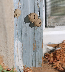 Potter Wasp Nests 2 (REGOR NOTPUL) Tags: potterwasp waspnest glenburnieontario