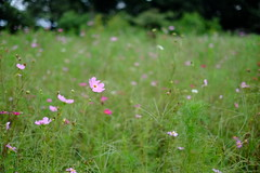 Pure (Minami45) Tags: xpro1 fujifilm cosmos flower fujinon pink japan tokyo autumn          bokeh xf35mm