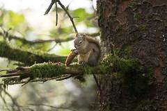 Mossy Perch (rishaisomphotography) Tags: redsquirrel kodiak alaska mammal nature naturephotographer wild wildlife wildlifephotography moss tree green