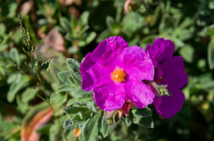 (JOAO DE BARROS) Tags: barros joo botany flower