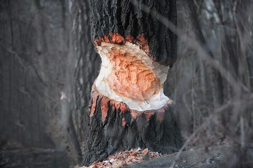 Beaver traces.