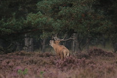 Keep on burling (jopieborst) Tags: reddeer edelhert canon100400 canon70d veluwe wildlife