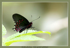 Pink-spotted photinus (Jan H. Boer, Nature photographer) Tags: paridesphotinus pinkspottedphotinus butterflies insects nature macro costarica turrcares mybackyard nikon d5200 3000mmf40 jansphotostream2016