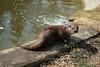 European otter Wildwood 270816 (Dan86401) Tags: europeanotter lutralutra otter animal mammal nature wildlife lutrinae