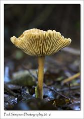 Upturned Mushroom (Paul Simpson Photography) Tags: fall fungi autumn october2016 paulsimpsonphotography photosoftinymushrooms photosof photoof imagesof imageof naturalworld naturephotography mushroom mushroomgills mushroomphotography woodland sonya77 sonyphotography