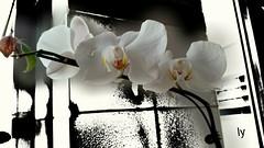 para minha irm (luyunes) Tags: flor flores orqudeas beleza motomaxx luciayunes