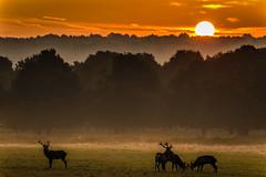 The Circle of Life (georgeplakides) Tags: deer rut rutting richmondpark london sunrise mist