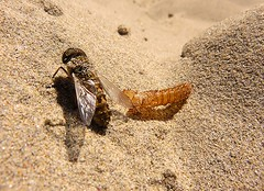 The escape (Gert Vanhaecht) Tags: gold gertvanhaecht coast animal breizh availablelight canonpowershotsx700hs color nature france yellow sand brittany insect composition colour canon finistre shadow bretagne
