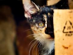 Lindo gatito (carolinatfe) Tags: gatos cats fz200 lumix panasonic