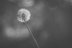 catharsis - 300/366 (auntneecey) Tags: dandelion monochrome mono odc fly 366the2016edition 3662016 day300366 26oct16