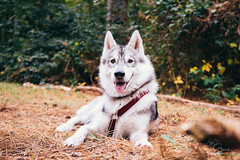 I'm watching you! (Roos van Gent Photography) Tags: siberianhusky hikingwithdogs traildog forest dogphotography sleepy huskypuppy