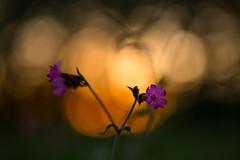(Stephane Laborde) Tags: bokeh flower macro proxy canon 6d 100mm f28 light colors
