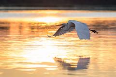 Firewater (gseloff) Tags: greategret bird bif wildlife sunrise armandbayou pasadena texas kayakphotography gseloff