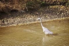 Great Blue Heron (Charlemagne OP) Tags: strasburg pennsylvania lancasterco herrsmill bird heron greatblue ardea herodias
