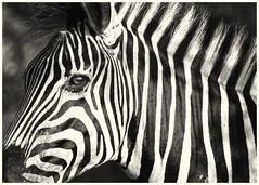 Stripes (Sheldrickfalls) Tags: zebra plainszebra burchellszebra krugernationalpark kruger krugerpark mpumalanga southafrica coth5