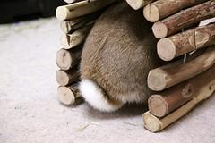 Ichigo san 422 (mensore) Tags:  rabbit bunny netherlanddwarf brown cute pet family ichigo