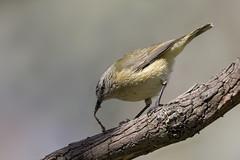 Yellow-rumped Thornbill 2016-09-23 (60D_3441) (ajhaysom) Tags: yellowrumpedthornbill acanthizachrysorrhoa woodlandshistoricpark greenvale canoneos60d sigma150600 australianbirds australia