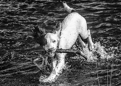Dogs just wanna have fun ! (TrevKerr) Tags: nikon d7000 70210f28 monochrome blackandwhite water waterdrops dog puppy springerspaniel
