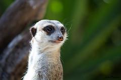 Suricata suricatta (JOAO DE BARROS) Tags: suricata animal portrait joo barros zoo