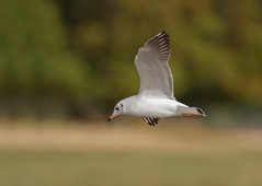 Black-headed Gull_8760 (Kulama) Tags: blackheadedgull gull birds nature wildlife water flight autumn autumncolours canon7d sigma150600c563