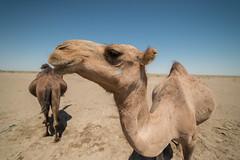 Maranjab Desert (MadGrin) Tags: deserto maranjab isfahan iran irn camelli maranjabdesert desert chhtaq camels animals aminali geo:lat=3426271300 geotagged geo:lon=5166803500 chhtaq