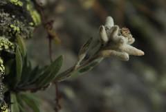delweiss (bulbocode909) Tags: valais suisse delweiss fleurs nature montagnes mauvoisin