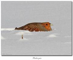 Perdrix grise / Gray Partridge IMG_7538 (salmo52) Tags: birds hiver oiseaux princeville phasianidae perdixperdix graypartridge perdrixgrise phasianidés salmo52 alaincharette