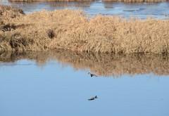 Pitt Meadows BC (Ian Threlkeld) Tags: canada birds nikon scenery flickr december bc britishcolumbia flight ducks explore waterfowl birdwatching irt lowermainland ridgemeadows northalouetteriver explorebc d7000