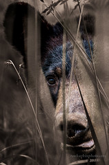 Bear is Watching! (Ron Harbin Photography) Tags: bear park portrait black mountains weeds great national smoky hiding