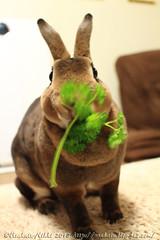 IMG_0628j (Rabbit's Album) Tags: pets cute rabbit bunny animals  choco   minirex    canonx7i x7i