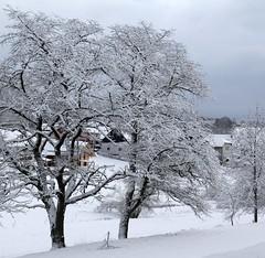 (Gerlinde Hofmann) Tags: germany thuringia village bürden snow tree conifer cloudysky