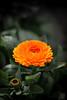 Calendula (thofin) Tags: flower sony blume a55 sal50f18