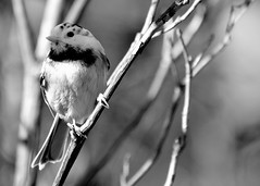 Getting Braver.... (l_dewitt) Tags: blackandwhite bw wildlife chickadee blackcappedchickadee backyardwildlife wildlifeimages brushpile wildbird backyardbirds wildlifephotos leucism backyardbirdwatching bwimages connecticutwildlife newenglandwildlife nationalwildlifemagazinephotogrouppool chickadeeimages earthlifenature chickadeephotos brushpilewildlife nikonwildlifephotos birdswithleucism leucismimages leucismphotos wiidbirdswithleucism