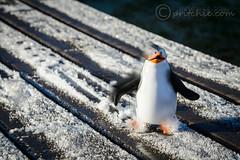 Rico Slide Time! (pritchiedotcom) Tags: snow penguins nikon frost rico sliding madagascar d4