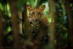 Indochinese Leopard (Petr Bambousek) Tags: cloud rain animal animals forest thailand rainforest wildlife tropical cloudforest tropics thajsko sulasula bambousek