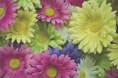 Desperately Seeking Spring (flashfix) Tags: flowers stilllife white ontario canada green floral yellow spring nikon colours purple ottawa daisy 40mm fakeflowers michaels craftstore 2015 softexposure fakenature burstofcolour d7000 nikond7000 2015inphotos february282015