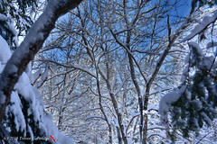 Dobson Trail 014 (Trevdog67) Tags: trees winter snow canada nature nikon hiver january hike newbrunswick arbres photowalk moncton nouveaubrunswick neige nikkor wonderland janvier foret arbre excursion riverview 2015 reddragonfly albertcounty 18300mm facebookgroup d7100 dobsontrail monctonphotography january2015 sentierdobson