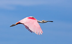 Roseate Spoonbill In Flight (Kenneth Keifer) Tags: pink blue wild sky white bird nature colors strange beautiful animal fauna nose flying bill inflight colorful florida wildlife beak feathers waterbird spoon odd ibis coastal shore tropical wildanimal unusual fowl soaring waterfowl flapping bizarre snout wading spoonbill roseate plumage redeyes showy wader ajaja platalea