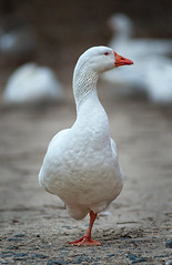Domestic Goose (oshcan) Tags: winter nature birds geese nikon 300mm28 d4s