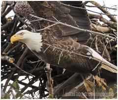 Bald Eagle Canon 7D Mark II 2 (Mike Black photography) Tags: new 2 black bird mike nature up canon close eagle birding bald nj shore 7d jersey