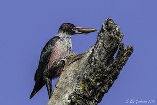 Lewis's Woodpecker -