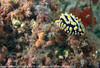 Phyllidia varicosa - Phyllidie verruqueuse.jpg