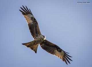 Hunting Red Kite {Milvus milvus}{Explore}