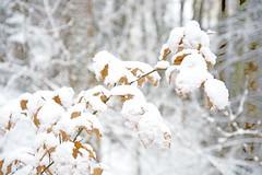 Hiver de la valle de la Bruche (Pauline Kletti) Tags: winter snow texture hiver neige extrieur calme feuille