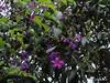 Cores quaresmais (@profjoao) Tags: flores verde cores plantas jardim roxo lilas joaocesar profjoaonetbr wwwprofjoaonetbr coresdaquaresma coresquaresmais