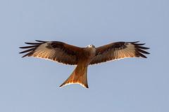 (robwiddowson) Tags: oxfordshire birdofprey redkite rspb otmoor rspbotmoor